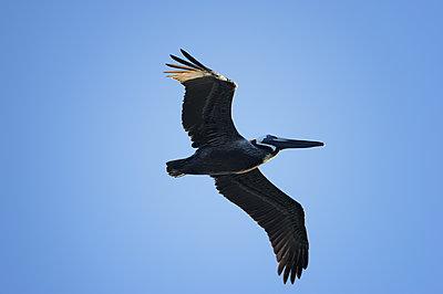 Pelican at flight - p1395m1466025 by Tony Arruza