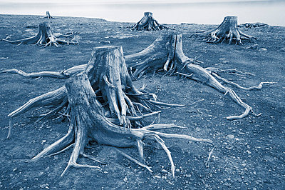 Tree Stumps Along Upper Kananaskis Lake, Peter Lougheed Prov. Park, Kananaskis Country, Alberta, Canada - p442m837424f by Darwin Wiggett