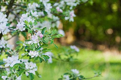Apple blossoms - p624m710787f by Odilon Dimier
