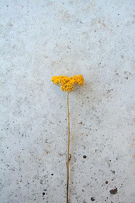 Blütendolde - p876m853711 von ganguin