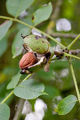 Wallnut on a tree III - p940m880717 by Bénédite Topuz
