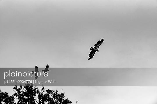 Alaska, Young bald eagles in flight - p1455m2204776 by Ingmar Wein