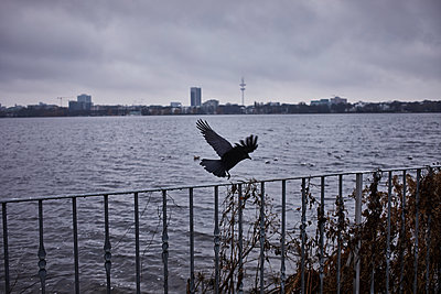 Crow lands on railing on Alster river - p1573m2231692 by Christian Bendel