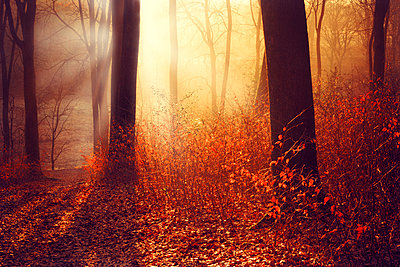 Germany, Wuppertal, forest in the morning in autumn against the sun - p300m926394f by Dirk Wüstenhagen