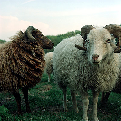 Sheep - p989m919195 by Gine Seitz