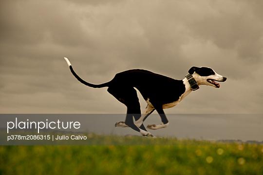 Greyhound - p378m2086315 by Julio Calvo