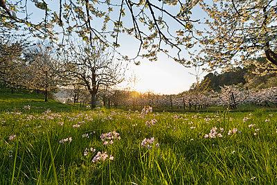 Germany, Baden-Wuerttemberg, Sipplingen, cuckoo flower, Cardamine pratensis, on meadow - p300m1585463 by Holger Spiering