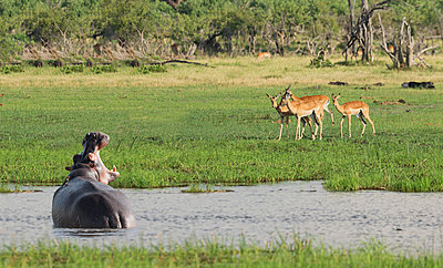 Hippopotamus roaring at antelope in remote water hole - p555m1411647 by ac productions