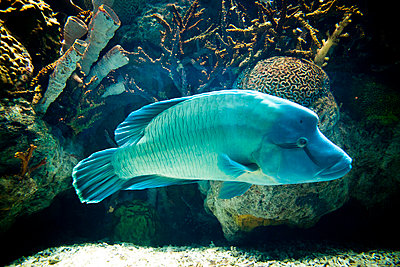 Side View of Napoleon Wrasse - p669m806393 by Kelly Davidson