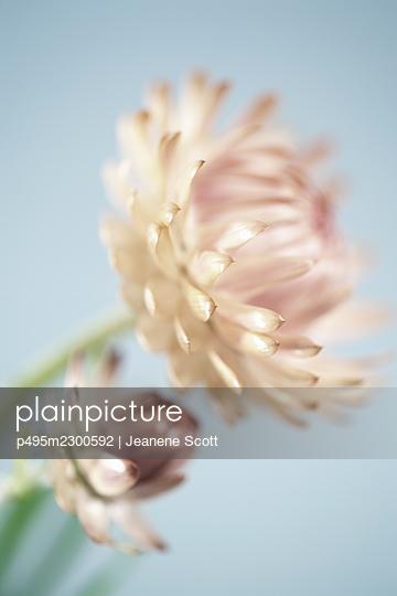 Straw flowers, close-up - p495m2300592 by Jeanene Scott