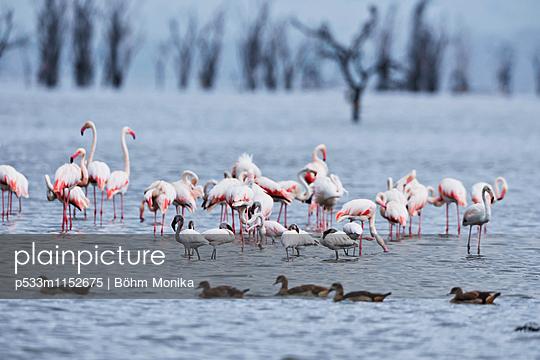 Flamingos im Nakurusee - p533m1152675 von Böhm Monika