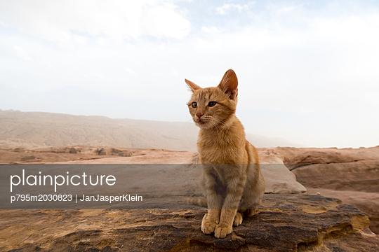 Wildkatze in den Bergen Jordaniens - p795m2030823 von Janklein
