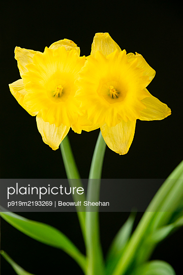Daffodils in front of black background - p919m2193269 by Beowulf Sheehan