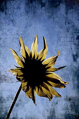 Sonnenblume - p4500283 von Hanka Steidle