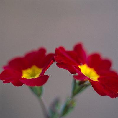 Red primrose close-up - p4950179 by Jeanene Scott