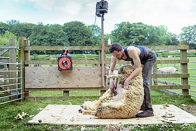 Sheep shearer shearing sheep in pen in field - p924m1480613 by Monty Rakusen