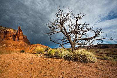 Abgestorbener Baum im Capitol-Reef-Nationalpark - p1057m1466794 von Stephen Shepherd