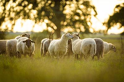 Schafe in Norddeutschland - p1273m2045660 von melanka