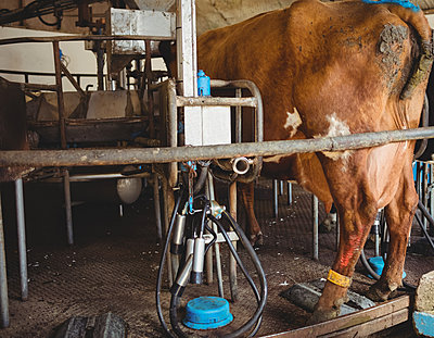 Milking equipment and cow in the barn - p1315m1199726 by Wavebreak