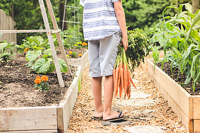 Caucasian boy holding carrots in garden - p555m1410809 by Emily Suzanne McDonald