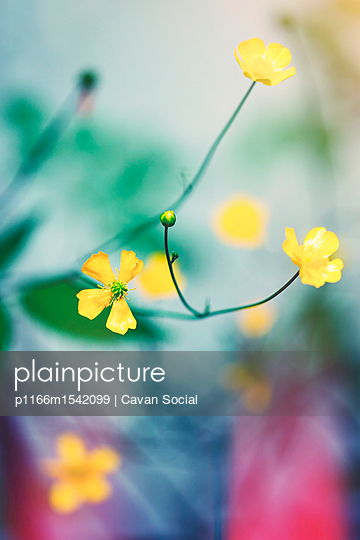 plainpicture | Photo library for authentic images - plainpicture p1166m1542099 - Close-up of yellow flowers ... - plainpicture/Cavan Images/Cavan Social