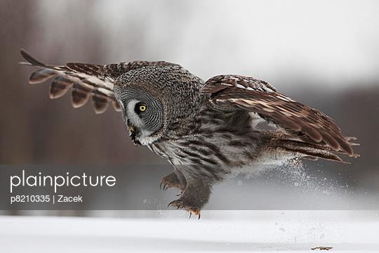 Female Great grey owl (Strix nebulosa) landing on snow, Oulu, Finland, February 2009  - p8210335 by Zacek
