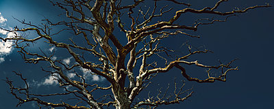 Silhouette of old leafless oak tree at moonlight - p1053m2015591 by Joern Rynio