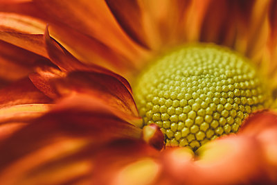 Macro shot of fresh flower - p1166m2112109 by Cavan Images