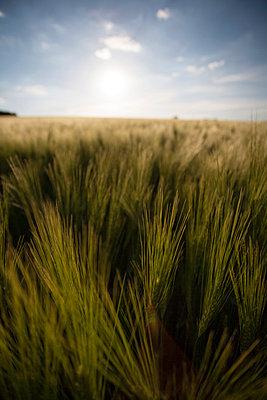 Sommerliches Getreidefeld icht - p946m859526 von Maren Becker