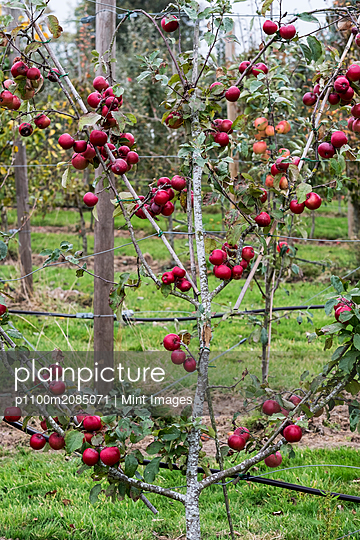 Apple trees in an organic orchard garden in autumn, red fruits ready for picking on branches of espaliered fruit trees.  - p1100m2085071 by Mint Images