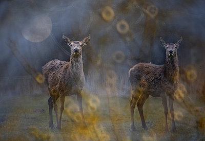 Two deers - p1041m2073316 by Franckaparis