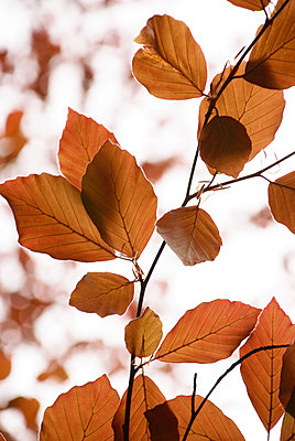 Autumnal leaves on a tree - p597m2026170 by Tim Robinson