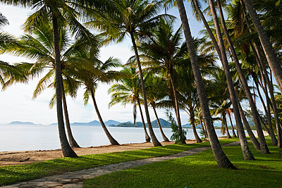 Australia, Queensland, Cairns. Coconut palms line the beachfront at Palm Cove. - p652m716702 by Andrew Watson