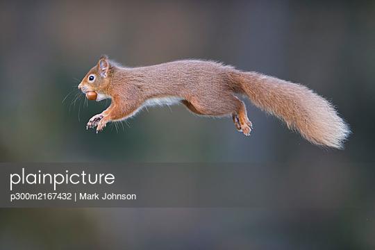 UK, Scotland, Red squirrel(Sciurusvulgaris) mid-jump - p300m2167432 by Mark Johnson