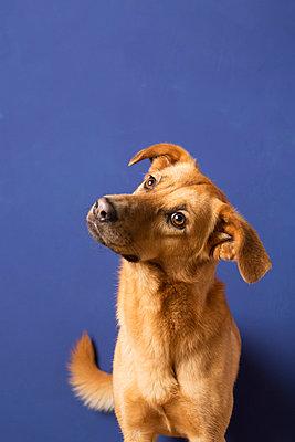 Mischlingshund vor blauer Wand II - p435m887509 von Stefanie Grewel