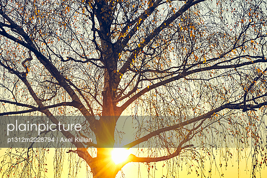 Germany, Tree crown of a birch with leaves in the back light - p1312m2228794 by Axel Killian