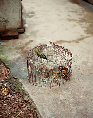 Parrot in birdcage - p436m1445495 by R. Petersen