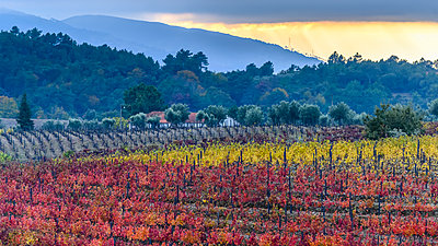 Colourful, autumn coloured foliage on crops in Douro Valley; Peso da Regua, Vila Real, Portugal - p442m2077676 by Keith Levit