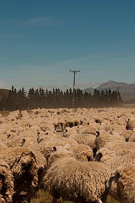 Merinoschafe in Neuseeland - p470m1539065 von Ingrid Michel
