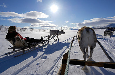 Reindeer sledding ecotourism tour, Sweden. - p5754136f by Staffan Widstrand