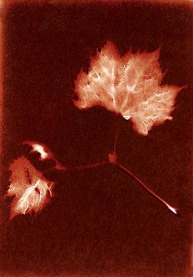 X-ray image, leaf veins - p945m2178351 by aurelia frey