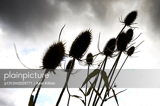 Thistles against cloudy sky - p1312m2229771 by Axel Killian
