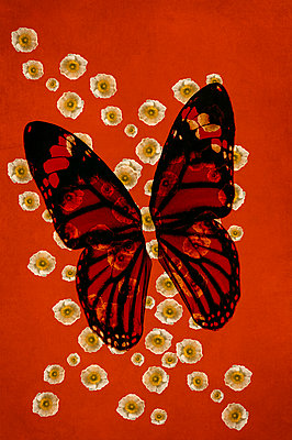 Computer generated abstract pattern of white poppy flowers overlaid on red striped african monarch butterfly wings against orange background - p1047m2288952 by Sally Mundy
