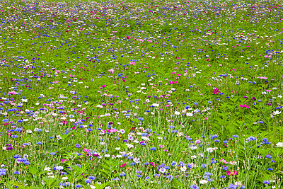 Flower meadow in spring - p1093m918005 by Sven Hagolani