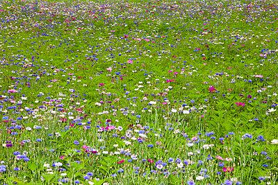 Frühlingsblumenwiese - p1093m918005 von Sven Hagolani