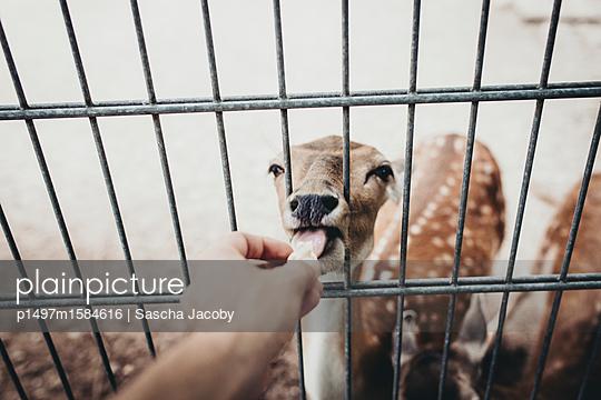 Reh füttern im Zoo - p1497m1584616 von Sascha Jacoby