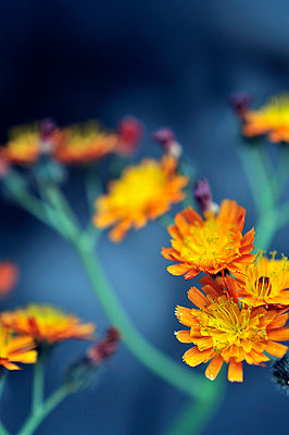 Close-up of Orange Hawkweed - p1047m814778 by Sally Mundy