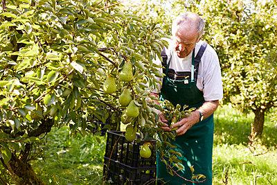 Organic farmer harvesting williams pears - p300m2140985 by Sebastian Dorn