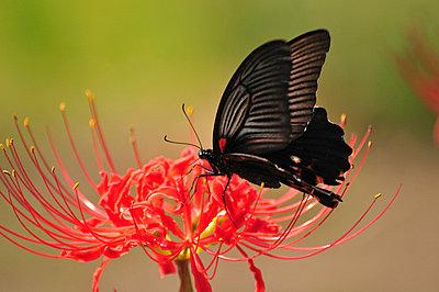 Great Mormon (Papilio memnon) on flower, Chiba Prefecture, Honshu, Japan - p5147799f by TOSHIAKI ONO