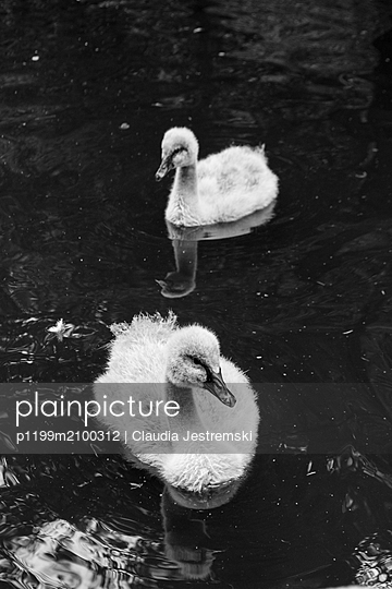 Little swans - p1199m2100312 by Claudia Jestremski